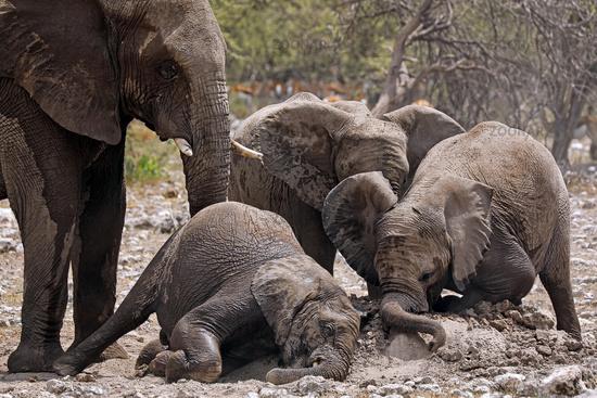 Elefantenherde staubt sich ein auf Termitenhuegel, Etosha-Nationalpark, Namibia, (Loxodonta africana)   elephants at a termite hill, Etosha National Park, Namibia, (Loxodonta africana)