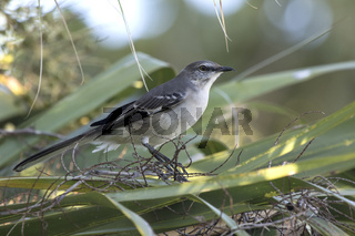 northern mockingbird that sits among the leaves of a palm tree in the shade on a sunny day