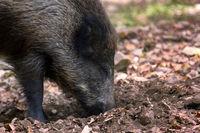Wild boar digs snout acorns in woods