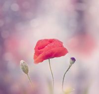 Poppy flower blooms on purple background