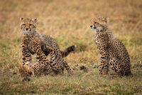 Cheetah cub sits as others play fight