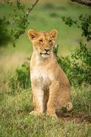 Lion cub sits by bush looking right