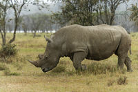 White Rhino,  Ceratotherium simum grazing in lake Nakuru, Kenya, Africa.