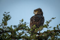 Black-chested snake-eagle perches in leafy tree top