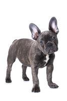 French bulldog puppy isolated on white background