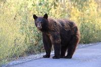 American black bear (Ursus americanus), Glacier National Park, Montana
