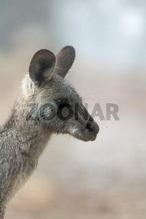 Kangaroo in the fog of early morning