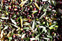 olives on branch, digital photo picture as a background