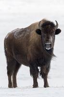 in eisiger Kälte...  Amerikanischer Bison *Bison bison*