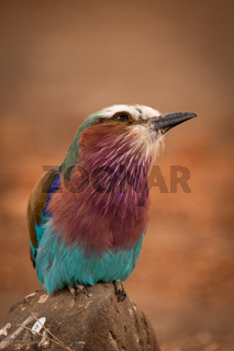 Lilac-breasted roller perches on rock cocking head