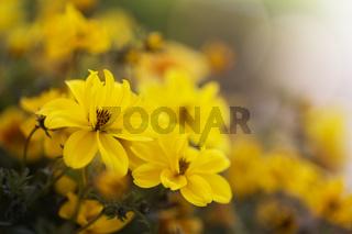 Goldmarie (Bidens ferulifolia) im Garten