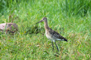Black-tailed godwit (Limosa limosa), a young bird