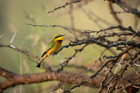Little bee-eater in profile on thorn branch