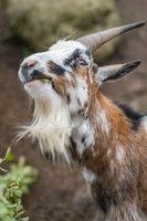 Goat with beard eating green leaves