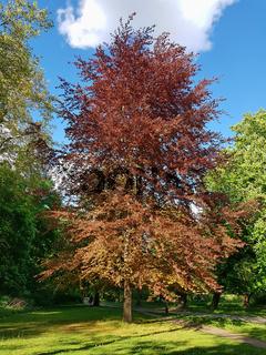 Blutbuche im Schlosspark in Pankow im Frühling