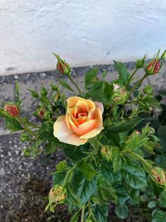 Gartenrose mit den roten und gelben Blüten