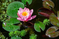 Water lilly and other aquatic plants in a pond