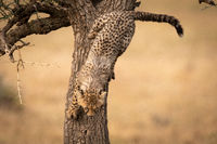 Cheetah cub slowly climbs down thorn tree