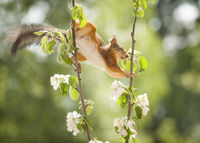 red squirrel is holding apple flower branches