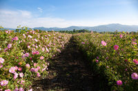 Rows of Bloomed Roses in an Agricultural Field