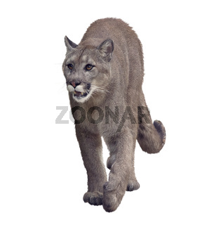 Florida panther or cougar painting