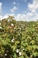 In tight on an agricultural field cotton plant boll ripe and ready to harvest