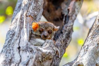 small night sportive lemur, Madagascar wildlife