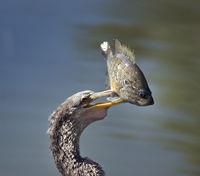 Anhinaga with a Fish