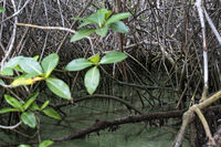 Schwarze Mangrove (Avicennia germinans), Insel Isabela, Galapagos Inseln, Ecuador