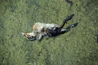 Totes Stockenten-Küken  Anas platyrhynchos