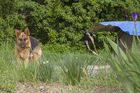 Schäferhund Diogenes mit seinem Fass