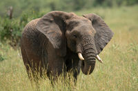 African elephant with chipped tusk in grass