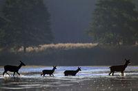 Rottiere und Kaelber durchqueren einen Teich
