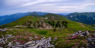 Rhododendron flowers on summer mountain slope
