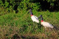 Jabiru Storks, Jabiru Mycteria, Cuiaba River, Porto Jofre, Pantanal Matogrossense, Mato Grosso do Sul, Brazil