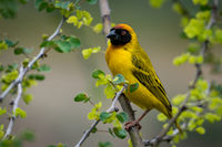 Masked weaver bird on branch facing camera
