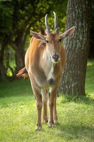 Common eland stands by tree watching camera