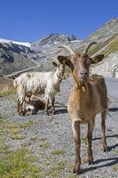 Ziegen im Rettenbachtal in Tirol