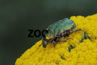 Gemeiner Rosenkaefer (Cetonia aurata)
