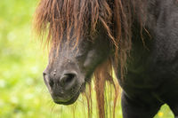 Head of a horse with many flies