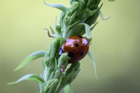 Marienkäfer auf einer Pflanze