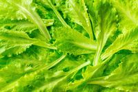 Leaves of fresh lettuce close-up