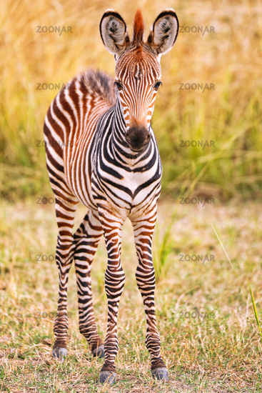 Junges Steppenzebra, South Luangwa Nationalpark, Sambia, (Equus quagga) | Young Plains Zebra, South Luangwa National Park, Zambia, (Equus quagga)