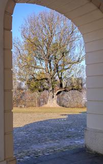 Gemeine Esche (Fraxinus excelsior) mit Torbogen vom Schloss Solitude