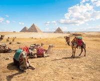 Camels in sandy desert