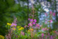 Weidenröschen Pflanze im Wald im Sommer