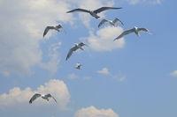 mehrere fliegende Möwen