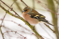 Male chaffinch bird sitting on a tree branch