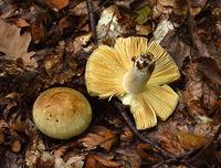 Rotstieliger Leder-Täubling, Wechselfarbige Leder-Täubling, Russula olivacea