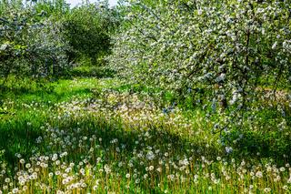 Flowering apple trees in spring
